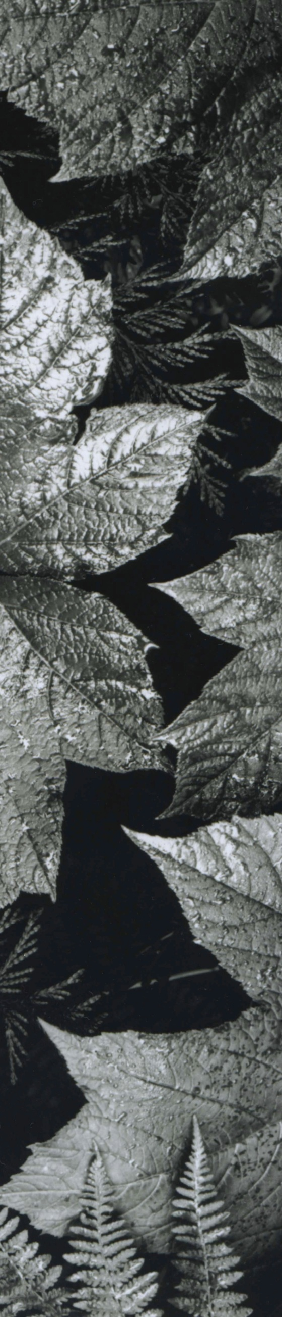 Ansel Adams Leaves